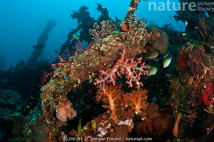 Liberty Wreck fully encrusted with corals, sponges and other marine life, Tulamben, Bali, Indonesia.  ,  ARTIFICIAL,CORAL TRIANGLE,CORAL REEFS,INDO PACIFIC,LANDSCAPES,MIXED SPECIES,SOUTH EAST ASIA,TROPICAL,UNDERWATER,WRECKS,,INDONESIA,SOUTH-EAST-ASIA,Asia,Anthozoans,Marine,Invertebrates,Cnidaria  ,  Jurgen Freund