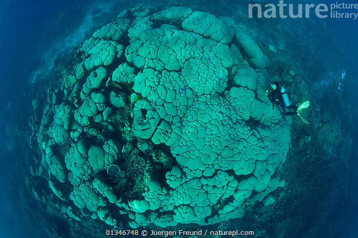Diver swimming over massive boulder / Cauliflower coral (Gardineroseris planulata) Buyat Bay, Sulawesi, Indonesia.  ,  AGARICIIDAE,ANTHOZOANS,CORAL TRIANGLE,DIVING,HARD CORALS,HIGH ANGLE SHOT,INDO PACIFIC,MARINE,OLD,PEOPLE,SOUTH EAST ASIA,TROPICAL,UNDERWATER,,Invertebrates,SOUTH-EAST-ASIA,Asia,INDONESIA,Cnidaria  ,  Jurgen Freund