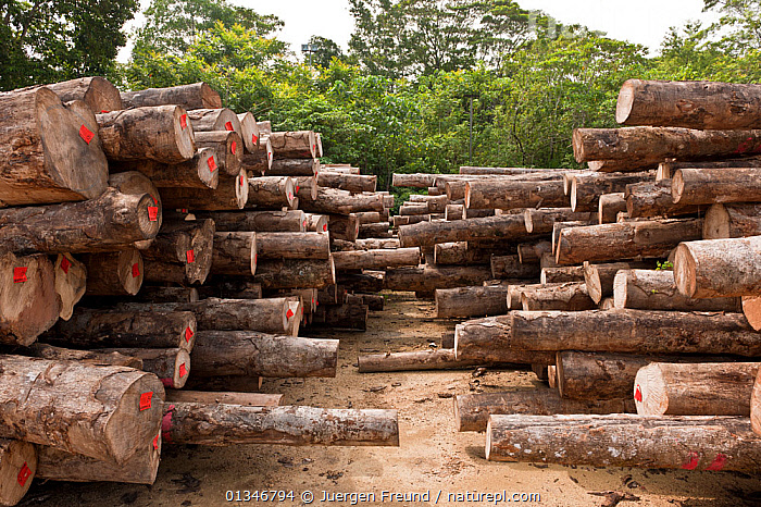 Harvested logs from Kolombangara Forest Products Limited, a certified Forest Stewardship Council timber plantation, Solomon Islands, July 2010.  ,  CORAL TRIANGLE,FORESTRY,LOGGING,PACIFIC ISLANDS,SOUTH EAST ASIA,TIMBER,TROPICAL,TROPICAL RAINFOREST,WOOD,  ,  Jurgen Freund