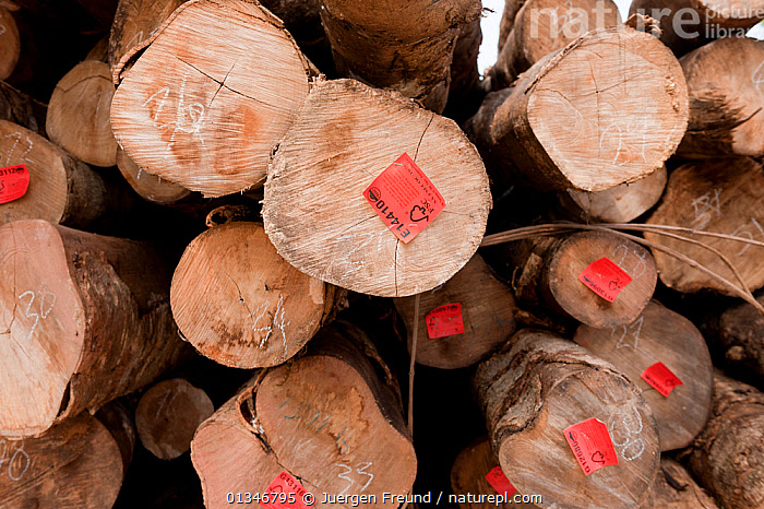 Harvested logs from Kolombangara Forest Products Limited, a certified Forest Stewardship Council timber plantation, Solomon Islands, July 2010.  ,  CORAL TRIANGLE,FORESTRY,LOGS,PACIFIC ISLANDS,SOUTH EAST ASIA,TIMBER,TROPICAL,TROPICAL RAINFOREST,  ,  Jurgen Freund