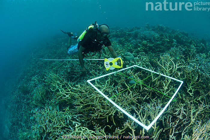 Tingo Leve of WWF Solomon Islands' Melanesia Programme carrying out an annual reef check survey of Tetepare Island reefs, Solomon Islands, July 2010  ,  catalogue4G,CONSERVATION,conservationist,coral triangle,CORAL REEFS,CORALS,DIVING,ENVIRONMENTAL,full length,INDO PACIFIC,MAN,mid adult,one person,PACIFIC ISLANDS,PEOPLE,reef,RESEARCH,scuba diver,scuba tank,solomon islands,SOUTH EAST ASIA,Tetepare Island,TROPICAL,UNDERWATER,WWF,MELANESIA  ,  Jurgen Freund