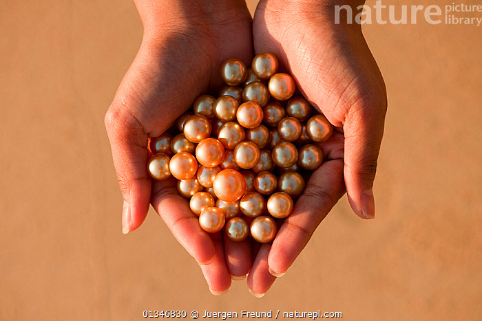 Newly harvested cultured Golden South Sea pearls of Oyster (Pinctada maxima) displayed in hand, Palawan, Philippines, May 2009  ,  catalogue4G,close up,COMMERCIAL,coral triangle,farm,farming,golden south sea pearls,GROUPS,HANDS,holding,jewellery,large group of objects,MOLLUSCS,one person,Oyster,Palawan,palm of hand,pearl,pearls,PEOPLE,Philippines,Pincada maxima,SOUTH EAST ASIA,WOMAN,WWF,Invertebrates  ,  Jurgen Freund