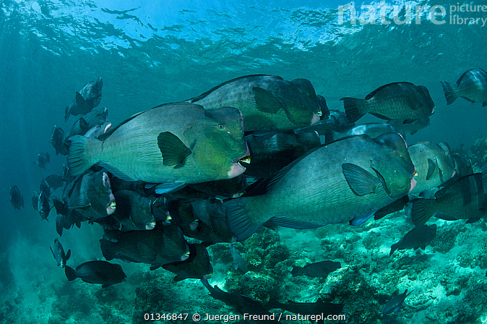 Shoal of schooling Bumphead parrotfish (Bolbometopon muricatum) Sipadan Island, Malaysia.  ,  CORAL TRIANGLE,FISH,GROUPS,INDO PACIFIC,LARGE,MARINE,OSTEICHTHYES,PARROTFISH,SHOAL,SIZE,SOUTH EAST ASIA,TROPICAL,UNDERWATER,VERTEBRATES,,SOUTH-EAST-ASIA,Asia  ,  Jurgen Freund