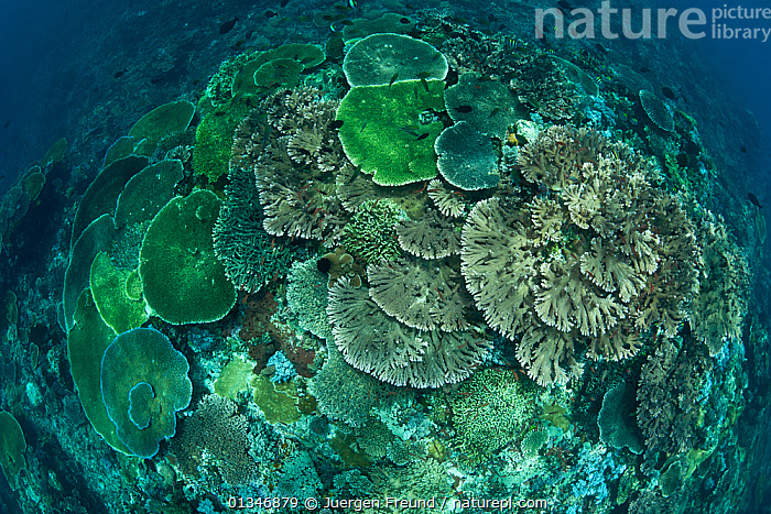 Looking down on healthy coral reef with tiers of plate corals and full of Damselfish and Fairy basslets, Komodo NP, Indonesia.  ,  CORAL TRIANGLE,CORAL REEFS,CORALS,HARD CORALS,HIGH ANGLE SHOT,INDO PACIFIC,INVERTEBRATES,LANDSCAPES,MARINE,SOUTH EAST ASIA,TROPICAL,UNDERWATER,,SOUTH-EAST-ASIA,Asia,Anthozoans,Cnidaria  ,  Jurgen Freund