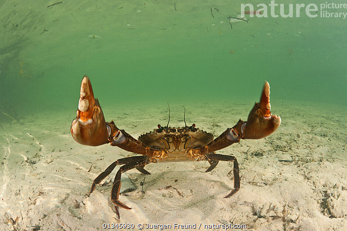 RF- Mudcrab (Scylla serrata) raising claws, Sulawesi, Indonesia (This image may be licensed either as rights managed or royalty free.), ARTHROPODS,BEHAVIOUR,CLAWS,coral triangle,CRABS,CRUSTACEANS,DEFENSIVE,INDO-PACIFIC,INVERTEBRATES,MARINE,SOUTH-EAST-ASIA,TROPICAL,UNDERWATER,WWF,SCYLLA SERRATA,Animal,Crustacean,Decapod,Swimming crab,Giant Mud Crab,Animalia,Animal,Wildlife,Crustracea,Crustacean,Malacostraca,Decapoda,Decapod,Portunidae,Swimming crab,Scylla,Scylla serrata,Giant Mud Crab,Mudcrab,Achelous crassimanus,Cancer serrata,Lupa lobifrons,Gesturing,Hand Sign,Hand Gesture,Hand Gestures,Hand Signs,Signal,Signals,Lifting,Picking Up,Picks Up,Raising,Rudeness,Nobody,Asia,South East Asia,Indonesia,Copy Space,Front View,Claw,Claws,Sea Floor,Seabed,Sands,Marine,Underwater,Water,Arthropod,Arthropods,Saltwater,Biodiversity hotspot,Sulawesi,Wallacea,Invertebrate,Negative space,Sealife,Unfriendly,RF,Royalty free,RFCAT1,RF17Q1,Marine, Jurgen Freund