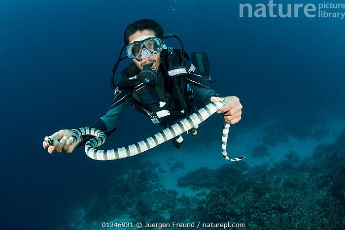 Diver holding Banded sea krait (Laticauda colubrina) South Sulawesi, Indonesia.  ,  CATCHING,CORAL TRIANGLE,DIVING,INDO PACIFIC,MAN,MARINE,PEOPLE,POISONOUS,REPTILES,SEA SNAKES,SNAKES,SOUTH EAST ASIA,STRIPED,STRIPES,TROPICAL,UNDERWATER,VENOMOUS,VERTEBRATES,,SOUTH-EAST-ASIA,Asia,JURGEN  ,  Juergen Freund
