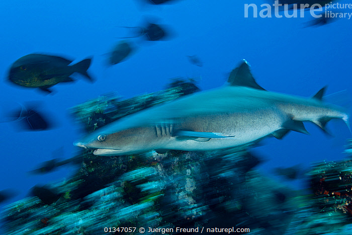 Whitetip reef shark (Triaenodon obesus) at reef, West New Britain, Papua New Guinea., BLUE,BLURRED,CHONDRICHTHYES,CORAL TRIANGLE,CORAL REEFS,FISH,INDO PACIFIC,MARINE,PNG,SHARKS,SOUTH EAST ASIA,TROPICAL,UNDERWATER,VERTEBRATES,, Jurgen Freund