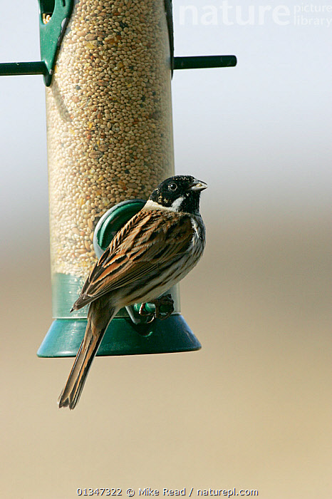 Common Reed Bunting (Emberiza schoeniclus) male in winter plumage at feeder. Hampshire, UK, March.  ,  BIRDS,BUNTINGS,EUROPE,FEEDERS,GARDENS,MALES,UK,VERTEBRATES,VERTICAL,United Kingdom  ,  Mike Read