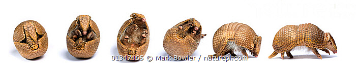 Sequence of a Three-banded armadillo (Tolypeutes tricinctus) unrolling from defensive ball posture to walking. Captive.  ,  ARMADILLOS,BRAZIL,CUTOUT,EDENTATES,MAMMALS,SEQUENCE,SIX,SOUTH AMERICA,STUDIO,VERTEBRATES,WHITE  ,  Mark Bowler