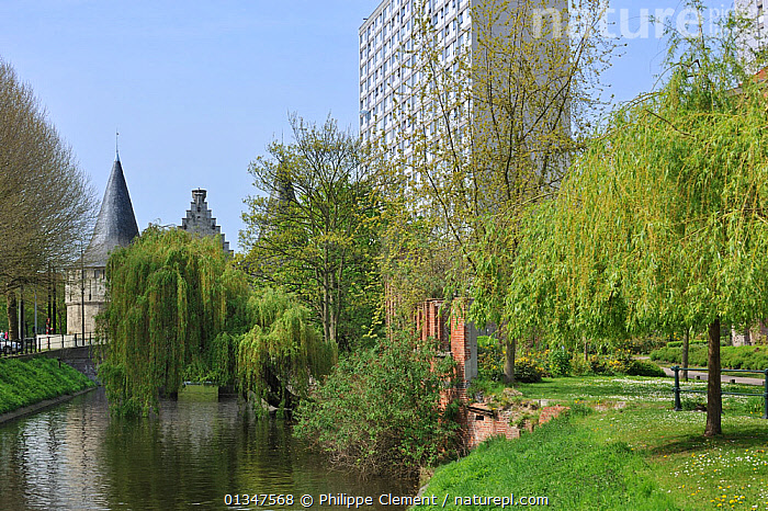 Town park along canal showing golden weeping willows (Salix vitellina var. pendula) and block of flats. Ghent, Belgium, April 2011.  ,  BELGIUM,BUILDINGS,CITIES,DICOTYLEDONS,EUROPE,LANDSCAPES,PARKS,PLANTS,SALICACEAE,TOWNS,URBAN  ,  Philippe Clement
