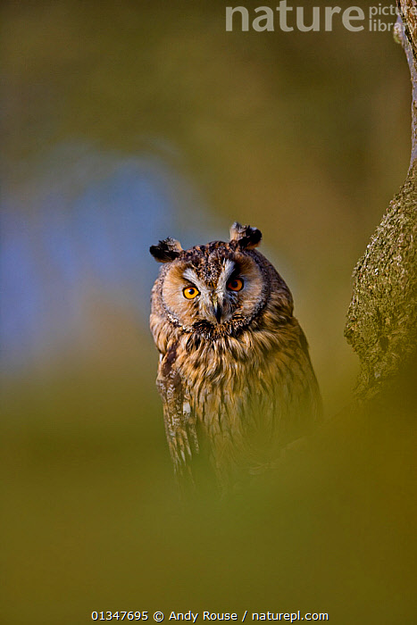 Long Eared Owl (Asio otus)  UK, controlled conditions, April, Captive  ,  alert,animals in the wild,BIRDS,BIRDS OF PREY,captive animal,catalogue4,close up,EUROPE,front view,Nobody,one animal,OWLS,prey,staring,STRIGIDAE,suspicious,UK,VERTEBRATES,VERTICAL,warchful,watchful,WILDLIFE,yellow eyes,United Kingdom,Raptor  ,  Andy Rouse