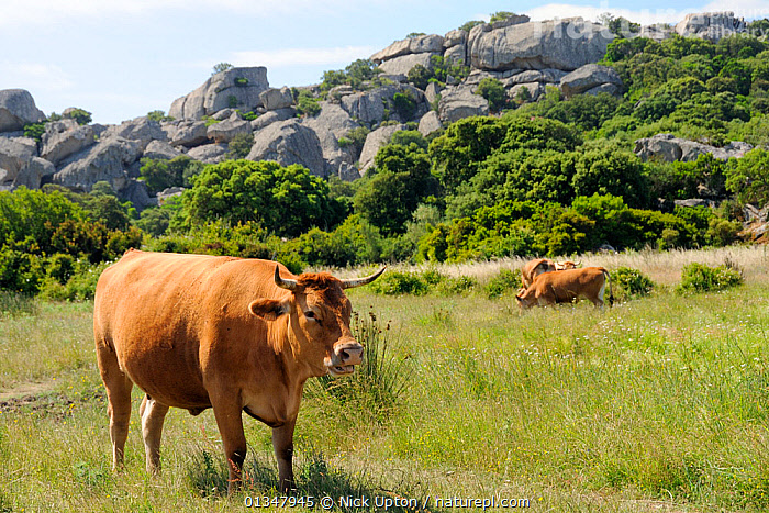 Corsican cattle, an ancient breed, grazing marshy pastureland with a granite outcrop in the background. Cauria, Corsica, France, May.  ,  ARTIODACTYLA,BOVIDS,CATTLE,CORSICA,COW,COWS,EUROPE,FRANCE,LANDSCAPES,LIVESTOCK,MAMMALS,MEDITERRANEAN,VERTEBRATES  ,  Nick Upton