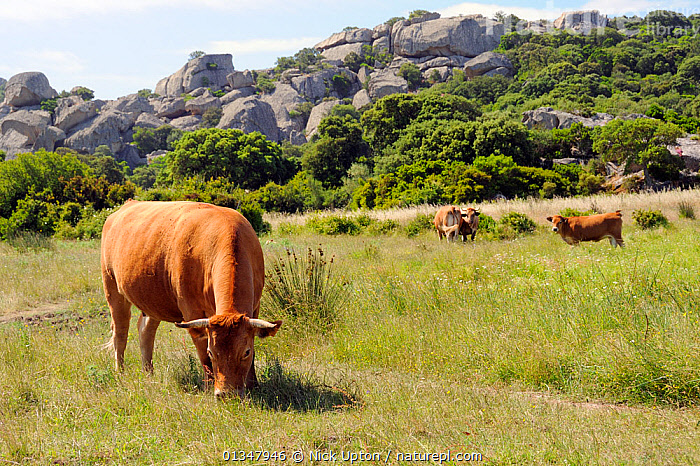 Corsican cattle, an ancient breed, grazing marshy pastureland with a granite outcrop in the background. Cauria, Corsica, France, May.  ,  ARTIODACTYLA,BOVIDS,CATTLE,CORSICA,COW,COWS,EUROPE,FRANCE,LIVESTOCK,MAMMALS,MEDITERRANEAN,VERTEBRATES  ,  Nick Upton