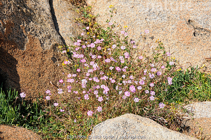 Rose of Heaven (Silene coeli-rosa) clump flowering among granite boulders. Campomoro Point, near Propriano, Corsica, France, June., CARYOPHYLLACEAE,CORSICA,DICOTYLEDONS,EUROPE,FLOWERS,FRANCE,MEDITERRANEAN,PLANTS, Nick Upton