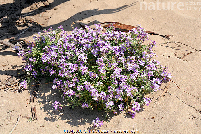 Sea Rocket (Cakile maritima) clump flowering in sand. Tizzano, southern Corsica, France, June., BRASSICA,BRASSICACEAE,CORSICA,DICOTYLEDONS,EUROPE,FLOWERS,FRANCE,MEDITERRANEAN,PLANTS, Nick Upton