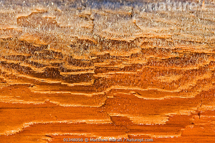 Detail of frost on Western Red Cedar (Thuja plicata). Vancouver Island, Canada, March.  ,  ABSTRACT,BACKGROUNDS,British Columbia,CANADA,catalogue4,CLOSE UPS,CONIFEROUS,CONIFERS,CRYPTIC,CUPRESSACEAE,Detail,FROST,full frame,GYMNOSPERMS,ICE,MACRO,natural pattern,nature,Nobody,NORTH AMERICA,NP,PATTERNS,PLANTS,RESERVE,Vancouver,vancouver book,Vancouver Island,west canada,Western Red Cedar,Weather,National Park  ,  Matthew Maran