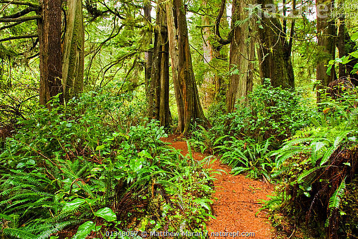 Path through thick undergrowth and tree trunks in a temperate rainforest. Wickaninnish Rainforest Trail, Vancouver Island, Canada, March., BRITISH COLUMBIA,CANADA,FORESTS,LANDSCAPES,LEAVES,NORTH AMERICA,NP,PATHS,RESERVE,TEMPERATE RAINFOREST,UNDERSTOREY,VANCOUVER,WEST CANADA,WOODLANDS,National Park, Matthew Maran