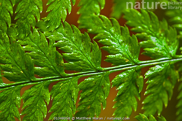 Detail of a Lady Fern (Athyrium filix-femina) frond. West coast of Vancouver Island, Canada, March., BRITISH COLUMBIA,CANADA,CLOSE UPS,DRYOPTERIDACEAE,FERNS,LEAVES,MACRO,NORTH AMERICA,NP,PATTERNS,PLANTS,PTERIDOPHYTES,RESERVE,VANCOUVER,VANCOUVER BOOK,WEST CANADA,National Park, Matthew Maran