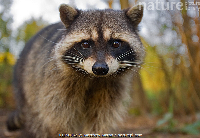 Portrait of a Common Racoon (Procyon lotor). Stanley Park, Vancouver, Canada, March., alert,animal face,animal portrait,British Columbia,CANADA,CARNIVORES,catalogue4,close up,confrontational,DETERMINATION,EXPRESSIONS,FACES,front view,full length,looking at camera,MAMMALS,Nobody,NORTH AMERICA,NP,one animal,PORTRAITS,RACCOONS,RESERVE,STANDING,Stanley Park,Vancouver,vancouver book,VERTEBRATES,west canada,whiskers,WILDLIFE,National Park, Matthew Maran