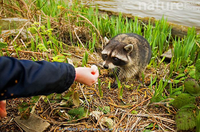 Common Racoon (Procyon lotor) being fed. Stanley Park, Vancouver Island, Canada., BRITISH COLUMBIA,CANADA,CARNIVORES,FEEDING,MAMMALS,NORTH AMERICA,NP,OUTDOORS,PEOPLE,RACCOONS,RESERVE,VANCOUVER,VERTEBRATES,WEST CANADA,National Park, Matthew Maran
