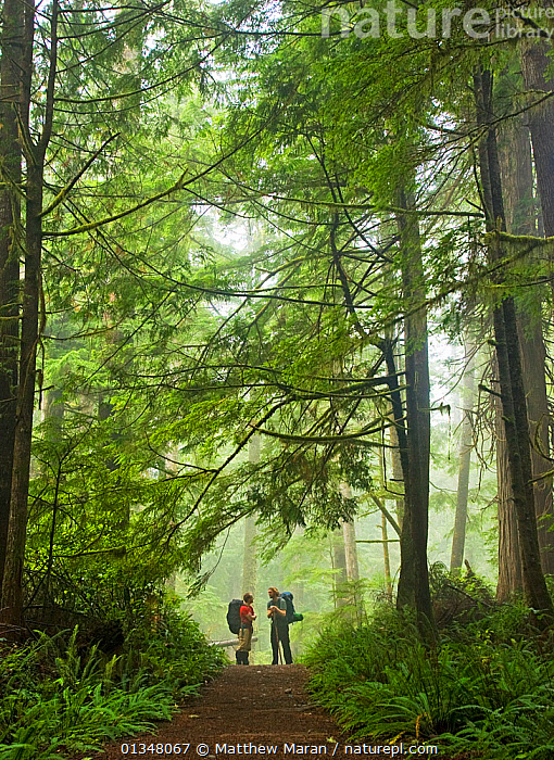 Two people pausing on a woodland path. The West Coast Trail, Pacific Rim National Park, Vancouver Island, Canada, September 2010. Model released., British Columbia,CANADA,catalogue4,forest,FORESTS,full length,hiking,LEISURE,MIST,NORTH AMERICA,NP,Pacific Rim ,path,paths,PEOPLE,recreation,RESERVE,STANDING,TEMPERATE RAINFOREST,TOURISM,TREES,trekking,two,two people,UNDERSTOREY,Vancouver,vancouver book,Vancouver Island,VERTICAL,west canada,Wesy Coat Trail,woodland,WOODLANDS,National Park,PLANTS, Matthew Maran