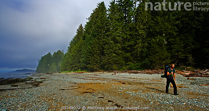A man hiking along a forested stoney beach. Pacific Rim National Park, Vancouver Island, Canada, Septemner 2010., BEACHES,BRITISH COLUMBIA,CANADA,COASTS,EXPEDITIONS,FORESTS,HIKING,LANDSCAPES,NORTH AMERICA,NP,OUTDOORS,PEOPLE,RESERVE,TEMPERATE RAINFOREST,TOURISM,VANCOUVER,VANCOUVER BOOK,WEST CANADA,WOODLANDS,National Park, Matthew Maran
