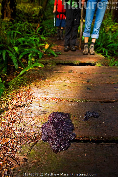An unsual fungus growing through the slats of a wooden walkway. The West Coast Trail, Pacific Rim National Park, Vancouver Island, Canada, September., BRITISH COLUMBIA,CANADA,FUNGI,HIKING,NORTH AMERICA,NP,PATHS,PEOPLE,RESERVE,TOURISM,VANCOUVER,VERTICAL,WEST CANADA,National Park, Matthew Maran