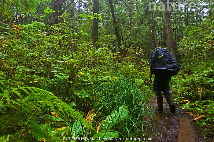A hiker on a path through dense undergrowth. The West Coast Trail, Pacific Rim National Park, Vancouver Island, Canada, September.  ,  BRITISH COLUMBIA,CANADA,FOLIAGE,FORESTS,HIKING,LEAVES,NORTH AMERICA,NP,OUTDOORS,PEOPLE,RESERVE,TEMPERATE RAINFOREST,TOURISM,UNDERSTOREY,VANCOUVER,WEST CANADA,WOODLANDS,National Park  ,  Matthew Maran