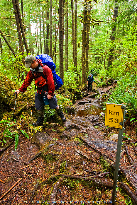 Hikers watching their feet as they walk over treacherous tree roots.The West Coast Trail, Pacific Rim National Park, Vancouver Island, Canada, September 2010., BRITISH COLUMBIA,CANADA,FORESTS,HIKING,NORTH AMERICA,NP,OUTDOORS,PEOPLE,RESERVE,SIGNS,TEMPERATE RAINFOREST,TOURISM,TWO,UNDERSTOREY,VANCOUVER,VERTICAL,WEST CANADA,WOODLANDS,National Park, Matthew Maran