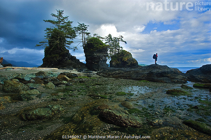 A man looking out to sea by coastal rock stacks. The West Coast Trail, Pacific Rim National Park, Vancouver Island, Canada, September 2010. Model released.  ,  BEACHES,British Columbia,CANADA,catalogue4,coastal,COASTS,full length,hiking,LANDSCAPES,looking at view,MAN,mid adult,NORTH AMERICA,NP,one person,outdoors,Pacific Rim ,panoramic image,PEOPLE,Physical Geography,RESERVE,rock formation,rock stack,ROCK FORMATIONS,ROCKS,STANDING,TOURISM,Vancouver,vancouver book,Vancouver Island,West Coast Trail,west canada,National Park  ,  Matthew Maran