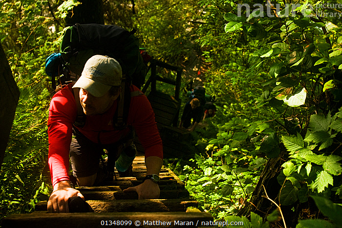 Hikers climbing a wooden ladder through dense undergrowth. The West Coast Trail, Pacific Rim National Park, Vancouver Island, Canada, September 2010., BRITISH COLUMBIA,CANADA,FORESTS,HIKING,NORTH AMERICA,NP,OUTDOORS,PEOPLE,RESERVE,TEMPERATE RAINFOREST,TOURISM,VANCOUVER,WEST CANADA,WOODLANDS,National Park, Matthew Maran