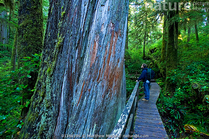 Hiker pausing on a forest trail by the trunk of an enormous Western Red Cedar (Thuja plicata). Pacific Rim National Park Reserve, Vancouver Island, Canada, October.  ,  BRITISH COLUMBIA,CANADA,CONIFEROUS,CONIFERS,CUPRESSACEAE,FORESTS,GYMNOSPERMS,HIKING,NORTH AMERICA,NP,OUTDOORS,PATHS,PEOPLE,PLANTS,RESERVE,TEMPERATE RAINFOREST,TOURISM,TREES,VANCOUVER,WEST CANADA,WOODLANDS,National Park  ,  Matthew Maran