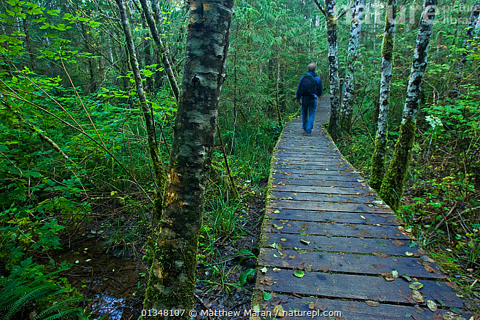 Hiker on the rainforest trail. Pacific Rim National Park Reserve, Vancouver Island, Canada, October., BRITISH COLUMBIA,CANADA,FORESTS,HIKING,NORTH AMERICA,NP,OUTDOORS,PATHS,PEOPLE,RESERVE,TEMPERATE RAINFOREST,TOURISM,VANCOUVER,WEST CANADA,WOODLANDS,National Park, Matthew Maran