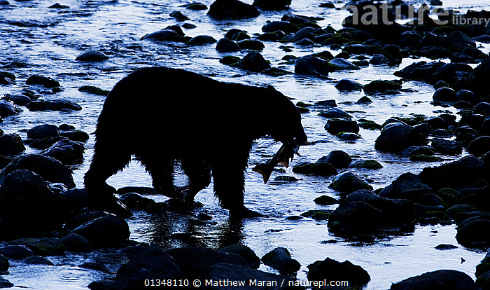 Black Bear (Ursus americanus) with a Chinook Salmon (Oncorhynchus tshawytscha) in its mouth. West coast of Vancouver Island, Canada, October., ARTY SHOTS,BEARS,BRITISH COLUMBIA,CANADA,CARNIVORES,DUSK,FEEDING,FISH,MAMMALS,NORTH AMERICA,NP,PREDATION,PREY,RESERVE,RIVERS,SILHOUETTES,URSIDAE,VANCOUVER,VANCOUVER BOOK,VERTEBRATES,WATER,WEST CANADA,National Park,Behaviour, Matthew Maran