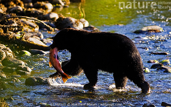 Black Bear (Ursus americanus) with a Chinook Salmon (Oncorhynchus tshawytscha) in its mouth. West coast of Vancouver Island, Canada, October., BEARS,British Columbia,CANADA,CARNIVORES,CARRYING,catalogue4,Chinook Salmon,FISH,food chain,holding in mouth,MAMMALS,Nobody,NORTH AMERICA,NP,Onocorhynchus tshawytscha,PREDATION,prey,PROFILE,RESERVE,river,RIVERS,SALMON,two animals,Ursidae,Vancouver,Vancouver Island,VERTEBRATES,WALKING,WATER,West Coast,west canada,WILDLIFE,National Park,Behaviour, Matthew Maran