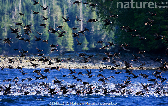 A flock of Surf Scoters (Melanitta perspicillata) taking off from water. West coast of Vancouver Island, Canada, March.  ,  BIRDS,BRITISH COLUMBIA,CANADA,COASTS,DUCKS,FLOCKS,LANDSCAPES,LARGE GROUPS,MULTITUDES,NORTH AMERICA,NP,RESERVE,SEASCAPES,VANCOUVER,VERTEBRATES,WATER,WATERFOWL,WEST CANADA,National Park  ,  Matthew Maran
