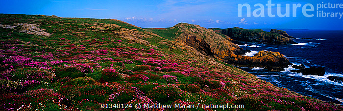 A view of coastal hills with flowering Sea Thrift (Armeria maritima). Skomer, Wales, UK.  ,  ATMOSPHERIC,BEAUTY IN NATURE,CALM,CLIFFS,COASTS,EUROPE,FLOWERS,LANDSCAPES,PANORAMIC,PURPLE,SEAS,SEASCAPES,UK,WALES,Geology,United Kingdom  ,  Matthew Maran