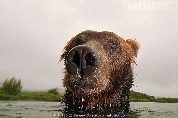 Close-up of Brown bear (Ursus arctos) in lake, Kamchatka, Far east Russia, August, ADVERSITY,ANIMAL HEAD,ASIA,BEARS,CARNIVORES,CATALOGUE5,CLOSE UP,CLOSE UPS,CLOUDY,DAY,DRAMATIC,EXPRESSIONS,FACES,FRONT VIEW,FUR,HEADS,INTIMIDATING,KAMCHATKA,LAKE,MAMMALS,MOODY,NOBODY,NOSES,ONE ANIMAL,OUTDOORS,RUSSIA,SWIMMING,VERTEBRATES,WATER,WET,WILDLIFE, Sergey Gorshkov