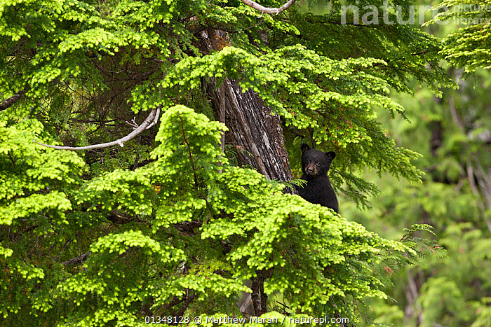 Black Bear (Ursus americanus) cub in tree branches. Cubs climb trees to hide and protect themselves while their mother forages for food.