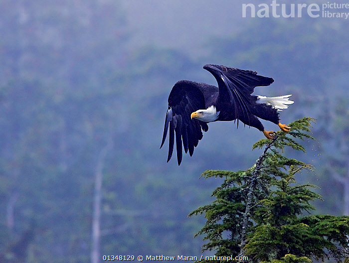 Bald Eagle (Haliaeetus leucocephalus) taking flight from a tree top. Clayoquot Sound, Vancouver Island, Canada, September., BIRDS,BIRDS OF PREY,BRITISH COLUMBIA,CANADA,EAGLES,FLYING,FORESTS,MIST,NORTH AMERICA,POWERFUL,TEMPERATE RAINFOREST,VANCOUVER,VANCOUVER BOOK,VERTEBRATES,WOODLANDS,Concepts,Raptor, Matthew Maran