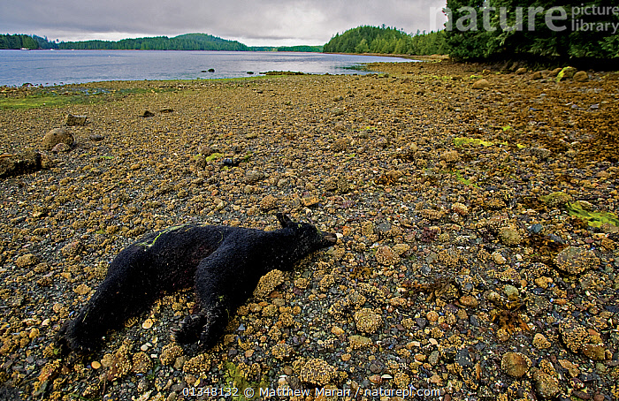 Dead Black Bear (Ursus americanus) on a beach. This individual was shot for regularly feeding on nearby fish plant garbage. Ucluelet Inlet, Barkley Sound, Vancouver Island, Canada, August 2008., BEACHES,BEARS,BRITISH COLUMBIA,CANADA,CARNIVORES,COASTS,DEATH,LANDSCAPES,MAMMALS,NORTH AMERICA,URSIDAE,VANCOUVER,VANCOUVER BOOK,VERTEBRATES, Matthew Maran