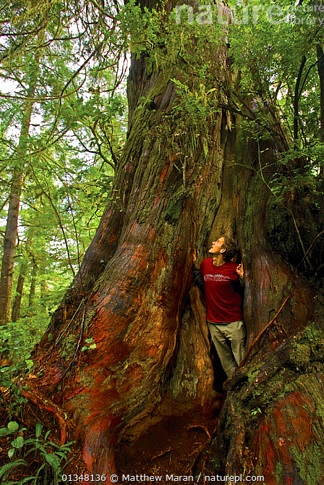 Photographer Matthew Maran in the hollow core of a Western Red Cedar (Thuja plicata). The West Coast Trail, Pacific Rim national Park, Vancouver Island, Canada, September., BRITISH COLUMBIA,CANADA,CONIFEROUS,CONIFERS,CUPRESSACEAE,FORESTS,GYMNOSPERMS,NORTH AMERICA,NP,OUTDOORS,PEOPLE,PHOTOGRAPHERS,PLANTS,RESERVE,TEMPERATE RAINFOREST,TREES,VANCOUVER,VANCOUVER BOOK,WOODLANDS,National Park, Matthew Maran