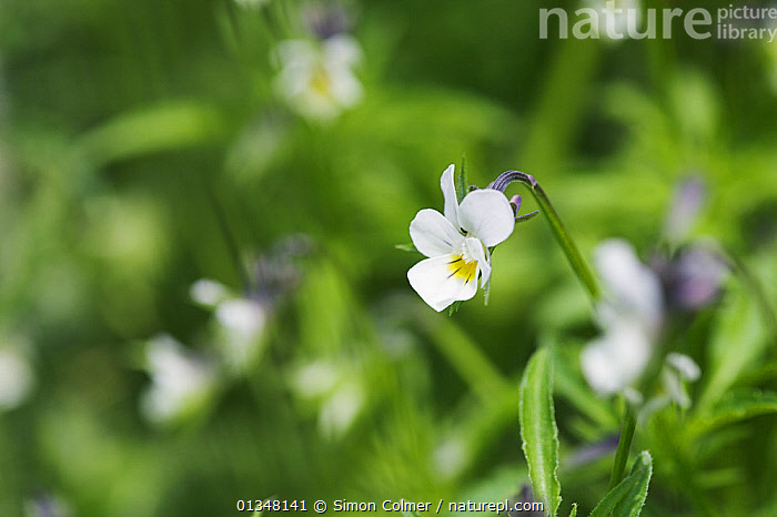 Field Pansy (Viola arvensis) in flower. Sussex, UK, July., DICOTYLEDONS,EUROPE,FLOWERS,MACRO,PLANTS,UK,VIOLACEAE,United Kingdom, Simon Colmer