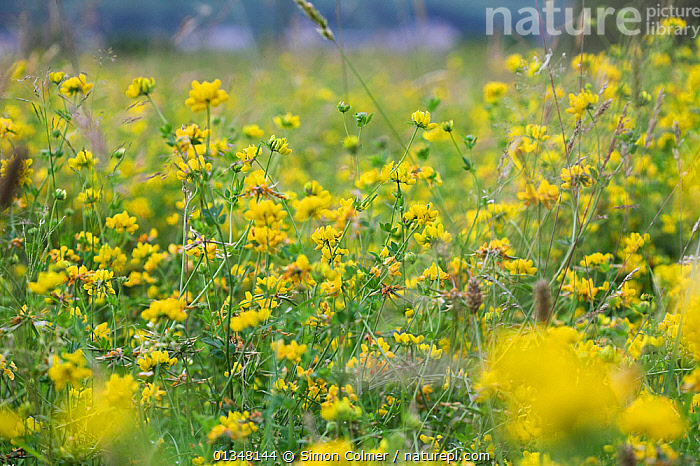 Greater Bird's-foot-trefoil (Lotus uliginosus) flowering in a meadow. Wales, UK, August.  ,  Angiosperms, DICOTYLEDONS, EUROPE, FABACEAE, fields, FLOWERS, MEADOWLAND, PLANTS, UK, YELLOW,Grassland,United Kingdom  ,  Simon Colmer