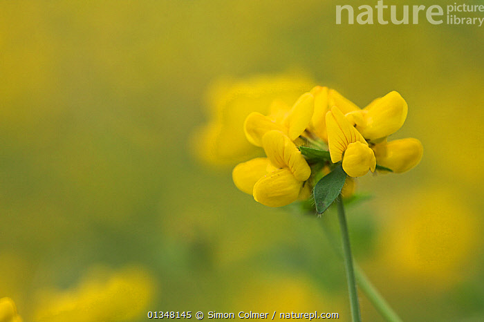 Greater Bird's-foot-trefoil (Lotus uliginosus) flower, Wales, UK, August., Angiosperms, DICOTYLEDONS, EUROPE, FABACEAE, FLOWERS, MACRO, PLANTS, UK, YELLOW,United Kingdom, Simon Colmer