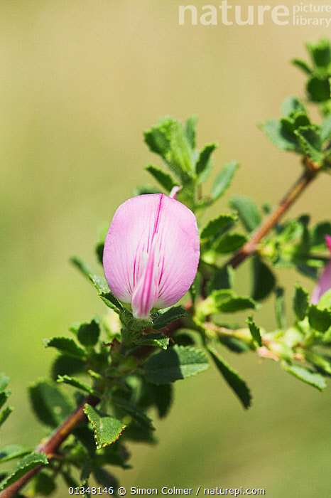 Common Restharrow (Ononis repens) in flower. South Downs National Park, Sussex, UK, August.  ,  DICOTYLEDONS,EUROPE,FACACEAE,FLOWERS,NP,PLANTS,UK,VERTICAL,National Park,United Kingdom  ,  Simon Colmer