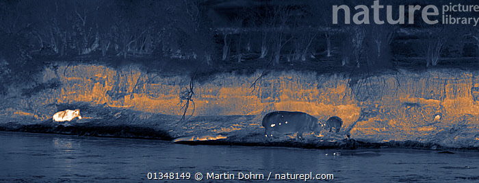 Thermal camera image of hippos (Hippopotamus amphibius), crocodile (Crocodylus niloticus) and wildebeest (Connochaetes taurinus, far left) on the banks of the Mara River, Masai Mara, Kenya. Image taken with no artificial light, on location for National Geographic Nightstalkers film. *THIS IMAGE CAN ONLY BE USED IF NATIONAL GEOGRAPHIC NIGHTSTALKERS IS REFERENCED*, AFRICA,AFRICAN,ARTIODACTYLA,DARK,HIPPO,HIPPOPOTAMUSES,HUNTING,MAMMALS,MIXED SPECIES,NIGHT VISION,NOCTURNAL,PREDATOR,PREY,REPTILES,RIVER,TEMPERATURE,VERTEBRATES,Catalogue4, Martin Dohrn
