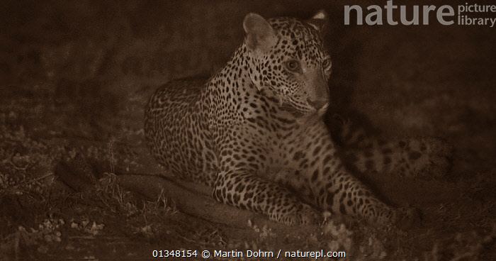 Leopard (Panthera pardus) resting at night. Yala National Park, Sri Lanka. Image taken with infared camera using no artificial light, on location for National Geographic Nightstalkers film. *THIS IMAGE CAN ONLY BE USED IF NATIONAL GEOGRAPHIC NIGHTSTALKERS IS REFERENCED*  ,  ASIA,ASIAN,BIG CATS,BIG CATS,CARNIVORES,DARK,LAZY,LEOPARDS,LYING,MAMMALS,NIGHT VISION,NOCTURNAL,REST,VERTEBRATES  ,  Martin Dohrn