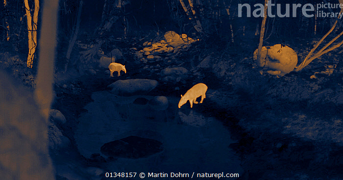 Thermal image of two Baird's tapir (Tapirus bairdii) at forest waterhole at night. Santa Rosa National Park, Costa Rica. Image taken at night with no artificial light, on location for National Geographic Nightstalkers film. *THIS IMAGE CAN ONLY BE USED IF NATIONAL GEOGRAPHIC NIGHTSTALKERS IS REFERENCED*, CENTRAL AMERICA,DARK,DRINKING,ENDANGERED,HABITAT,MAMMALS,NIGHT VISION,NOCTURNAL,PERISSODACTYLA,TAPIRS,TEMPERATURE,VERTEBRATES, Martin Dohrn