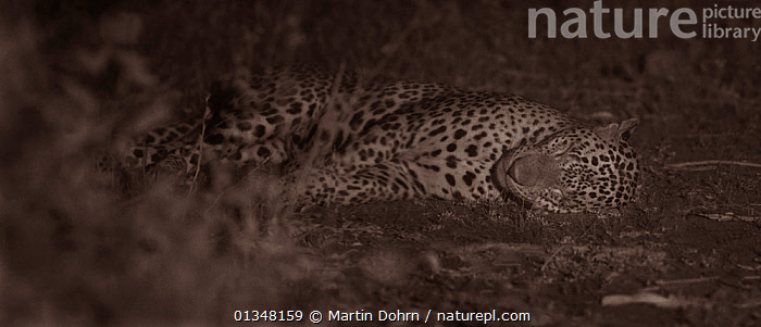 Leopard (Panthera pardus) resting at night. Yala National Park, Sri Lanka. Image taken with infared camera using no artificial light, on location for National Geographic Nightstalkers. *THIS IMAGE CAN ONLY BE USED IF NATIONAL GEOGRAPHIC NIGHTSTALKERS IS REFERENCED*, ASIA,ASIAN,BIG CATS,BIG CATS,CARNIVORES,DARK,LAZY,LEOPARDS,LYING,MAMMALS,NIGHT VISION,NOCTURNAL,REST,SLEEPING,VERTEBRATES, Martin Dohrn